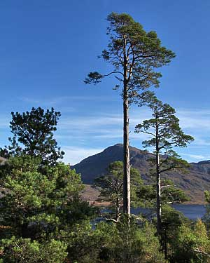 Scots Pines at Loch Maree