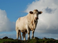cattle-islay.jpg