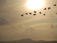 geese-isle-of-islay.jpg