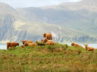 highland-cattle-gathering-jura.jpg