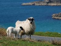 sheep-isle-of-islay.jpg