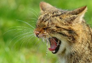 Scottish Wildcat, The Highland Tiger