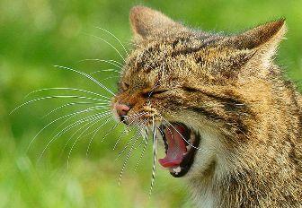 800px-Yawning_wildcat
