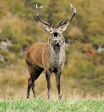 red-deer-stag-during-rut