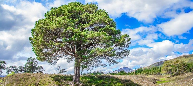 Scots Pine Glen Affric