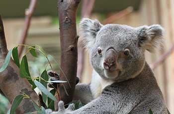 koala-gonaroo