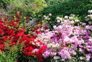 flowering-azalea