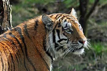 tiger-scotland-highland-wild-life-park