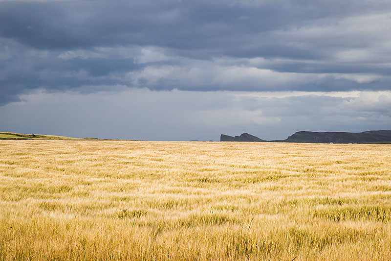 Barley Field in August - future Islay whisky