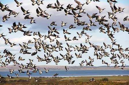 geese on islay
