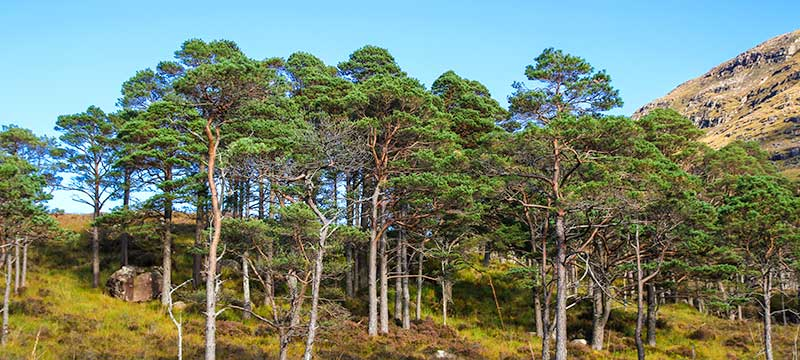 Scots Pines Lower Diabaig Road